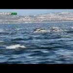 Faszinierend: Hunderte Delphine springen neben Whale Watcher Boot